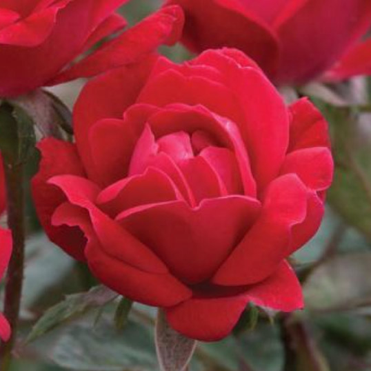 Red Double Knock Out Rose