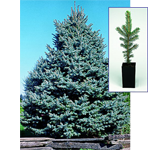 Colorado Spruce Gift Tree