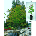 Green-Leaf Japanese Maple Gift Tree