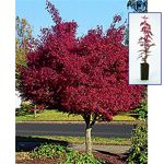 Red-Leaf Japanese Maple Gift Tree