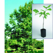 Northern Red Oak Gift Tree